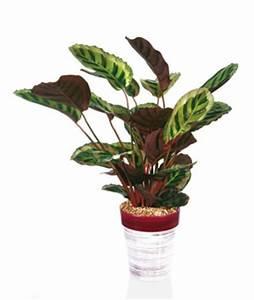 Zimmerpflanzen Pflege Tipps : korbmarante calathea pflege tipps und giftigkeit ~ Lizthompson.info Haus und Dekorationen