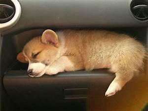 Sleeping Baby Corgi in a Scion XB | My Cute Car ...