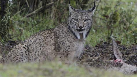 lynx iberian pardinus eating spain deer