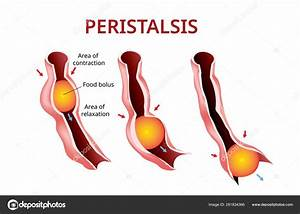 Digestion And Peristalsis  Esophagus And Stomach To