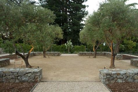olive tree landscape four olive trees with dg underneath turf to garden project plants pinterest trees cas