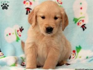 Golden Retriever Puppies Wallpaper Hd 26 Desktop ...