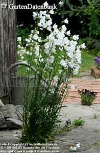 Unkraut Zwischen Steinen : pfirsichbl ttrige glockenblume hohe glockenblume bilder ~ Michelbontemps.com Haus und Dekorationen