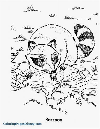 Coloring Raccoon Raccoons Pages Getcolorings Pa Printable