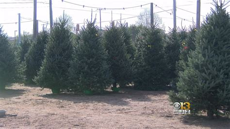 live tree black friday tree prices higher on black friday cyber monday cbs baltimore