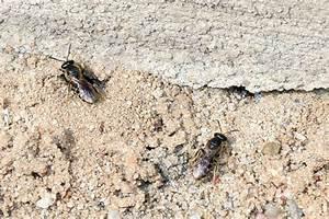 Kleine Fliegen In Der Erde : solit rbienen single leben ohne hofstaat nabu ~ Frokenaadalensverden.com Haus und Dekorationen