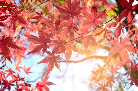 maple leaf extract  prevent wrinkles research suggests