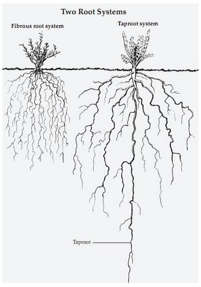 Roots Root Systems System Tree Mesquite Types