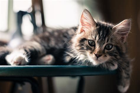 壁紙、飼い猫、凝視、子猫、動物、ダウンロード、写真