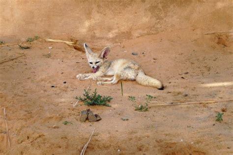 Tberkika - Woestijnvos