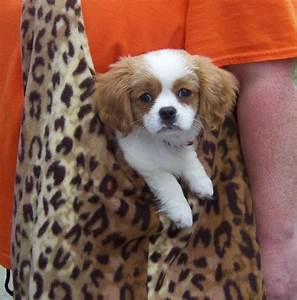 Small Dog Breeds That Stay Small Forever