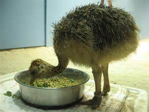 Baby Ostrich Eating
