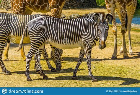 zebra wild endangered specie imperial striped horse africa portrait animal een uit gestreept paard portret afrika bedreigde diersoort wit zwart