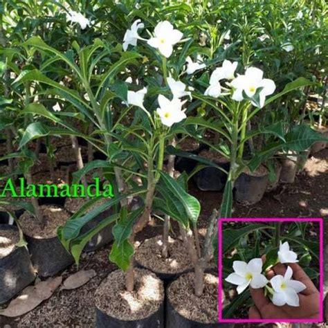 jual tanaman hias pagoda putih hp