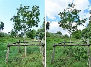 Alten Walnussbaum Schneiden : walnussbaum schneiden obstbaumschnittschule ~ Lizthompson.info Haus und Dekorationen