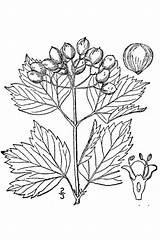 Viburnum Cranberry Coloring Drawing Bush Pages Drawings Plants Opulus Draw Realistic Highbush Bushes Usda Shrubs American Trees Line Plant Cranberries sketch template