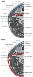 Prevertebral fascia - Wikipedia