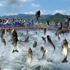 Flying fish: carp jump out of the water as fishermen bring ...
