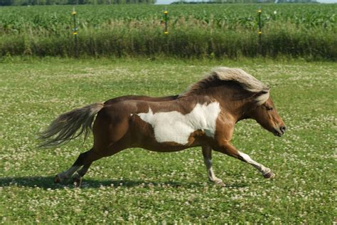 horse miniature horses mini ponies pasture pony gallop canter shetland runs biting through stables locations why mane mosquitoes nile reported