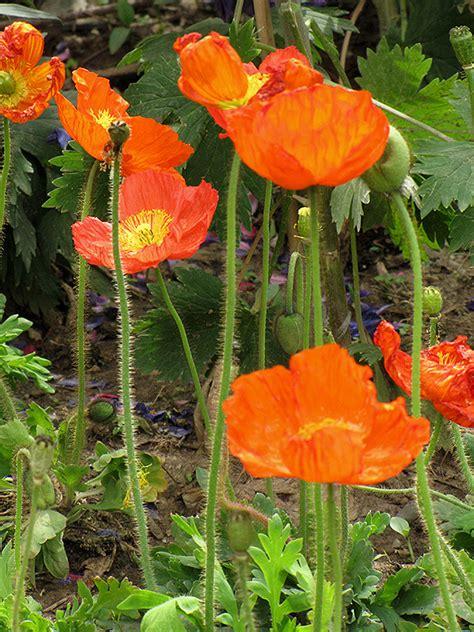 iceland poppy papaver nudicaule  denver centennial