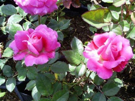 aneka tanaman hias tanaman hias mawar