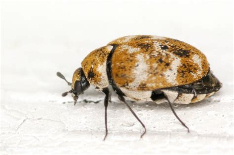 Borax Carpet Beetles Emw Carpet And Furniture Denver What Takes Nail Polish Off How To Clean White Mold From Best Foam Cleaner Reviews Can You Get Fingernail Do Take A Way Water Tank