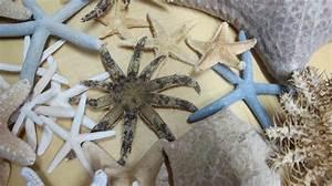 Etoile De Mer Dofus : alexandre import nature sp cialiste d 39 etoiles de mer et curiosit s marines en r gion parisiene ~ Medecine-chirurgie-esthetiques.com Avis de Voitures