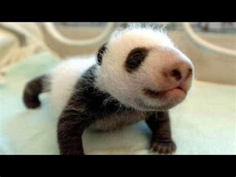 oso panda nace en el zoo de madrid baby panda youtube