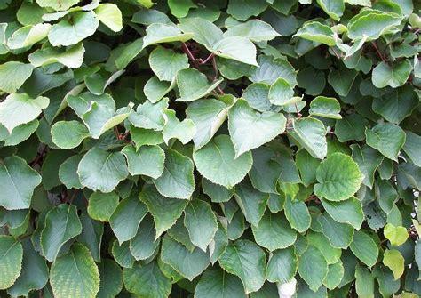 kletterpflanzen balkon winterhart actinida chinensis strahlengriffel laub kletterpflanzen winterhart bild infos garten