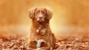 Full HD Wallpaper dog muzzle alone autumn, Desktop