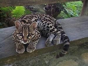Margay, the tiger cat. - Pixdaus