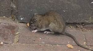 Comment Se Debarrasser Des Rats : d barrasser des rats bruxelles expert anti rats solutions de d ratisation ~ Melissatoandfro.com Idées de Décoration
