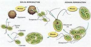 Is Chlamydomonas Unicellular Or Multicellular