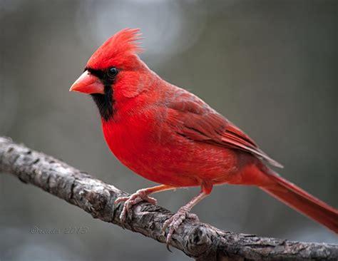 attractive northern cardinals birds