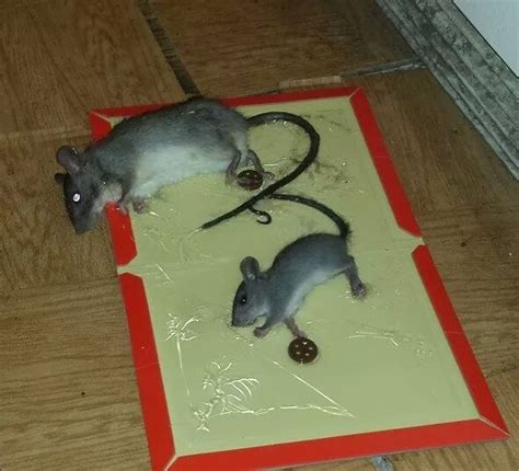 mice vs rats how to get rid of mice in your home mouse control