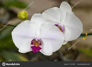 Schöne Orchideen Bilder : zwei gro e wei e orchidee blume sch ne bl ten nahaufnahme orchidee blume auf einem ast in ~ Orissabook.com Haus und Dekorationen