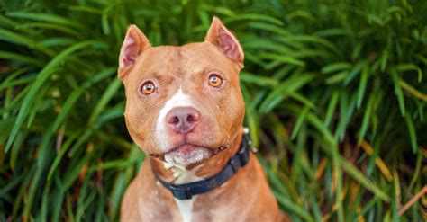 corte de orejas pitbull 7 razones para no cortarle la cola y orejas a tus perros