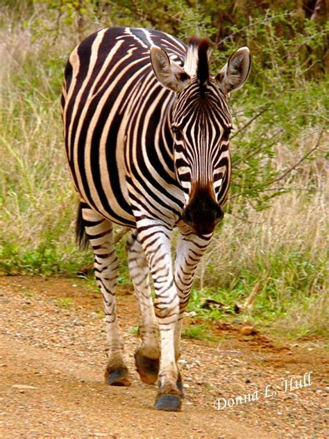 images  zebras  pinterest beautiful