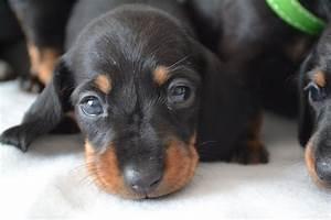 Miniature Smooth Haired Dachshund puppies | Birmingham ...