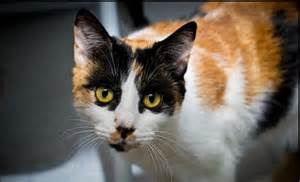 calico cat personality adopt a pet doot doot an affectionate calico cat