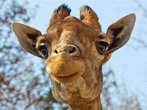 Smiling Giraffe at the Lion Park | Flickr - Photo Sharing!