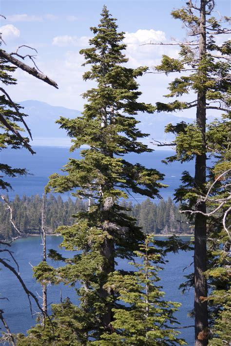 stock photo  tahoe pines freeimageslive