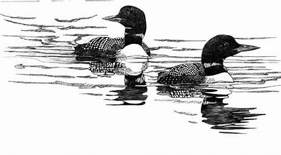 Drawing Loon Loons Common Drawings Ink Pencil
