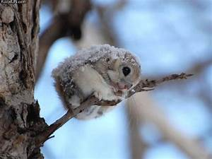 Dwarf japanese flying squirrel | Funny Pictures, Quotes ...