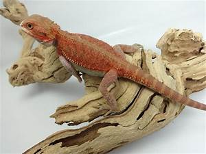 blood red bearded dragon