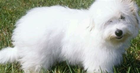 Dogs With Minimal Shedding by Cotton De Tulear Small Breed Minimal Shedding
