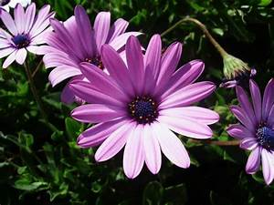 september birth flower meaning | Pictures Reference