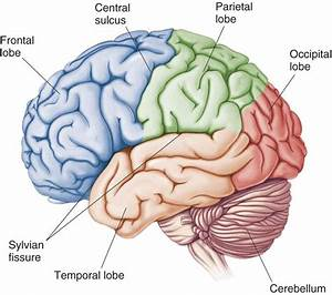 Cerebrum - Hook AP Psychology 2A