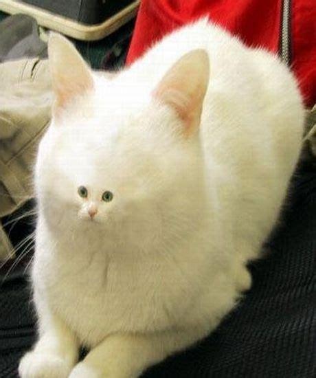 Cat Meme Faces - small face cat blank template imgflip