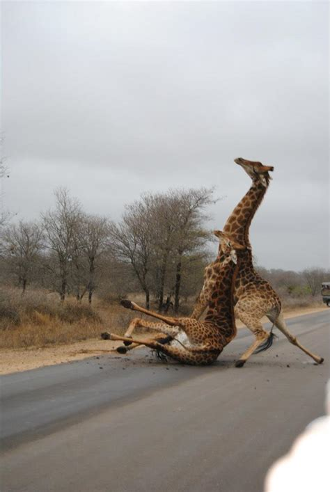 Giraffes having a fight | Funny Pictures, Quotes, Pics ...
